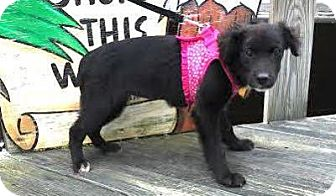 Australian Shepherd/Terrier (Unknown Type, Small) Mix Puppy for adoption in Freeport, New York - Venus
