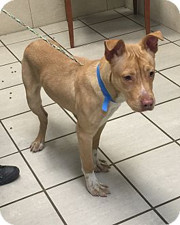 Pit Bull Terrier/Pit Bull Terrier Mix Dog for adoption in University Park, Illinois - Maddox
