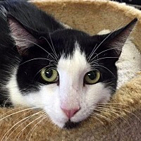 Domestic Shorthair Cat for adoption in Ft. Lauderdale, Florida - Stryker