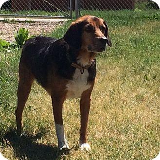 Beagle Mix Dog for adoption in Buffalo, Wyoming - Gizmo