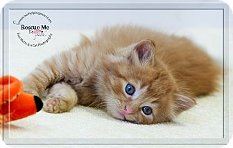 Domestic Longhair Kitten for adoption in Washburn, Wisconsin - Jacques Cousteau