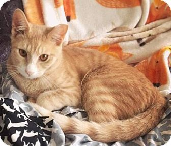 Domestic Shorthair Cat for adoption in Brooklyn, New York - Ricky