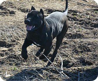 Presa Canario Dog for adoption in Lancaster, Kentucky - Wingman