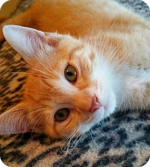 Domestic Shorthair Kitten for adoption in Des Moines, Iowa - JOHN