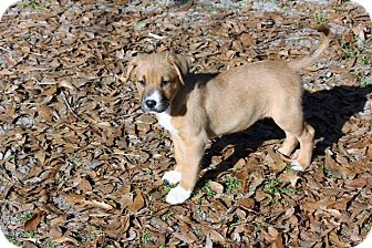 Shepherd (Unknown Type) Mix Puppy for adoption in Allentown, New Jersey - Marty