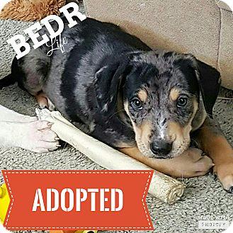 Labrador Retriever/Catahoula Leopard Dog Mix Puppy for adoption in Regina, Saskatchewan - Fargo