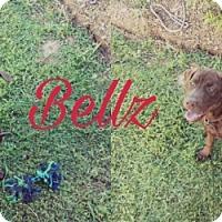 Adopt A Pet :: Bellz - Madison, AL