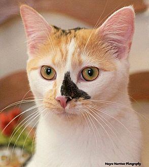 Domestic Shorthair Cat for adoption in Marietta, Georgia - Lisa