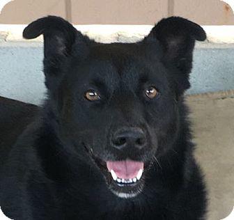 Australian Kelpie/Border Collie Mix Dog for adoption in Canoga Park, California - Angela