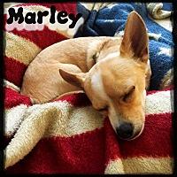 Adopt A Pet :: Marley - Valley Stream, NY