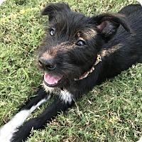 Adopt A Pet :: Loki $250 - Seneca, SC