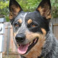 Adopt A Pet :: Gwenie 8-11-17 - Bulverde, TX