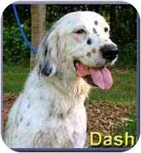English Setter Mix Dog for adoption in Aldie, Virginia - Dash
