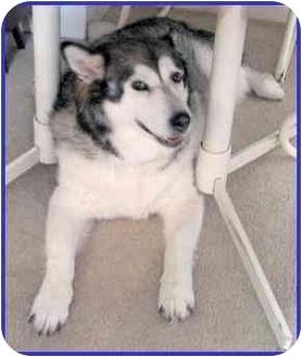 Alaskan Malamute Dog for adoption in Hamilton, Ontario - Kodah