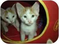 Domestic Shorthair Kitten for adoption in Tampa, Florida - Sammy