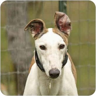 Greyhound Dog for adoption in Santa Rosa, California - Klondike