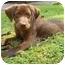 Photo 2 - Labrador Retriever Mix Puppy for adoption in Cumming, Georgia - Arnold