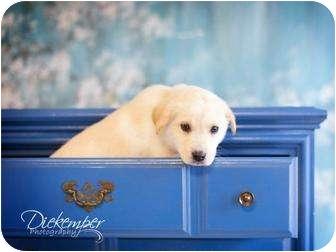 German Shepherd Dog/Labrador Retriever Mix Puppy for adoption in Vandalia, Illinois - GS 3