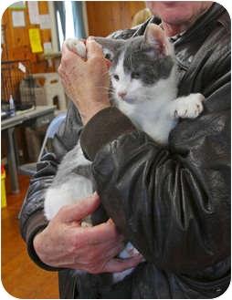 Domestic Shorthair Kitten for adoption in Tillamook, Oregon - Smooch