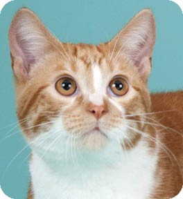Domestic Shorthair Cat for adoption in Chicago, Illinois - Mork