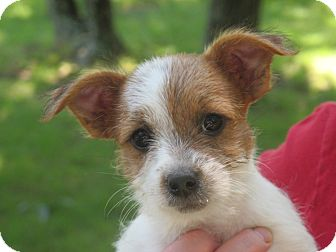Parson Russell Terrier/Chihuahua Mix Puppy for adoption in Spring Valley, New York - Parker