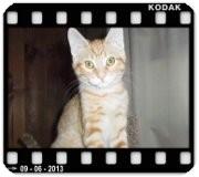 Domestic Shorthair Cat for adoption in Medford, Wisconsin - CARLTON