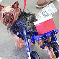 Adopt A Pet :: Kingsly - Greensboro, NC