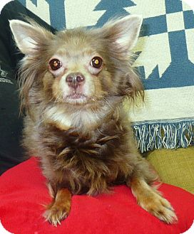 Chihuahua Dog for adoption in Eastpoint, Florida - Raspberry