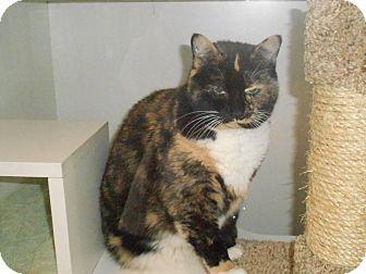Calico Cat for adoption in Morgantown, West Virginia - Suzie