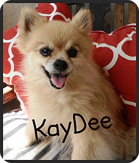 Pomeranian Dog for adoption in Orange, California - KayDee