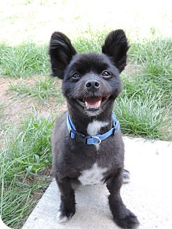 Pomeranian/Spitz (Unknown Type, Small) Mix Dog for adoption in Brookings, South Dakota - Shadow