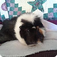 Adopt A Pet :: Jingle - San Antonio, TX