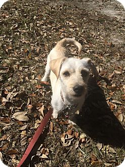 Dachshund/Terrier (Unknown Type, Small) Mix Dog for adoption in Ocean Springs, Mississippi - Smurf