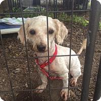 Adopt A Pet :: Lily - Fair Oaks Ranch, TX