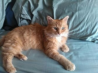 Domestic Longhair Cat for adoption in Dewitt, Michigan - Ginger