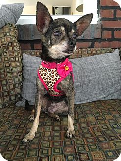 Chihuahua Mix Dog for adoption in Philadelphia, Pennsylvania - VIVIAN!