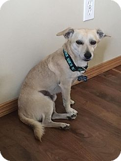 Chihuahua/Terrier (Unknown Type, Small) Mix Dog for adoption in Duchess, Alberta - Machop