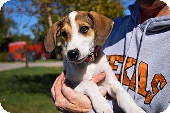 Beagle Mix Puppy for adoption in Wichita, Kansas - Gracie