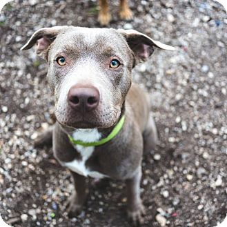 Weimaraner/Labrador Retriever Mix Puppy for adoption in Lompoc, California - JJ