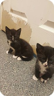 Domestic Shorthair Kitten for adoption in yuba city, California - Kittys!