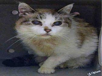 Domestic Mediumhair Cat for adoption in Ogden, Utah - KENYA