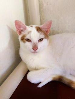 Domestic Shorthair Cat for adoption in Blair, Wisconsin - Jacob