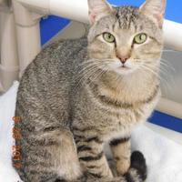 Domestic Shorthair/Domestic Shorthair Mix Cat for adoption in Owensboro, Kentucky - Gandi