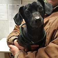 Adopt A Pet :: Anthony (Bandit) - Angola, IN