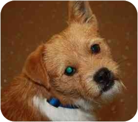 Terrier (Unknown Type, Small) Mix Dog for adoption in Belleville, Illinois - Rider
