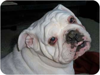English Bulldog Dog for adoption in Winder, Georgia - Lucy