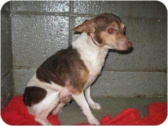Chihuahua Mix Dog for adoption in Henderson, North Carolina - Coco