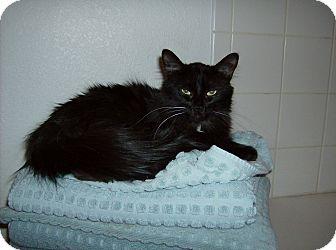 Maine Coon Cat for adoption in Scottsdale, Arizona - Diva- Courtesy Post
