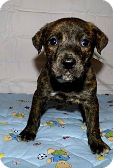 Boxer Mix Puppy for adoption in Bel Air, Maryland - Hannah