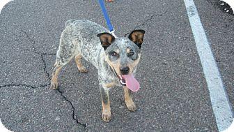 Australian Cattle Dog Mix Puppy for adoption in Phoenix, Arizona - Levi